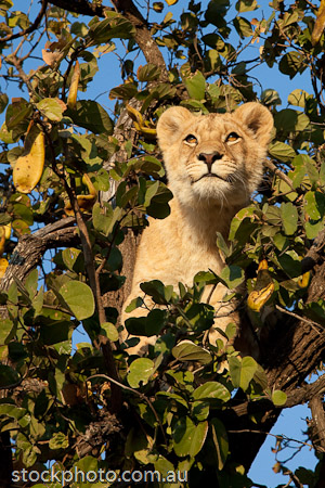 Young Lion in a tree at Antelope Park
