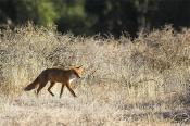 animals;wildlife;mammals;canine;fox;scrub;morning;horizontal;walking;