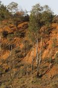 wakool;kyalite;environment;scenery;river;bank;plants;tree;deciduous;gum;gum;tree