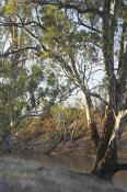 deciduous;environment;eucalyptus;gum;gum;tree;kyalite;plants;red;river;bank;rive