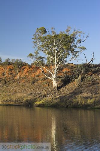 wakool;vertical;kyalite;environment;scenery;river;bank;plants;tree;deciduous;gum;gum;tree;river;gum;eucalyptus;red;