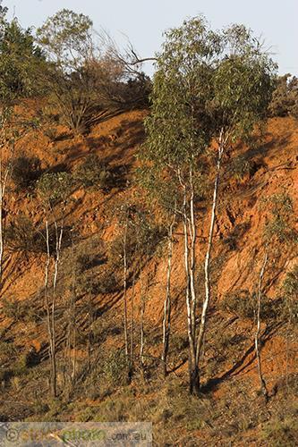 wakool;kyalite;environment;scenery;river;bank;plants;tree;deciduous;gum;gum;tree;river;gum;eucalyptus;red;vertical;
