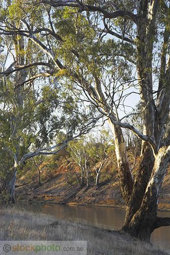 deciduous;environment;eucalyptus;gum;gum;tree;kyalite;plants;red;river;bank;river;gum;scenery;tree;vertical;wakool;