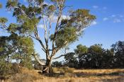 environment;scenery;plants;tree;deciduous;moulamein;wakool;horizontal;morning;gu