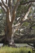 environment;scenery;water;river;plants;tree;deciduous;moulamein;wakool;vertical;