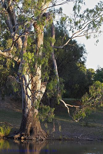 environment;scenery;water;river;plants;tree;deciduous;moulamein;wakool;red;gum;vertical;