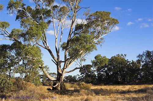 environment;scenery;plants;tree;deciduous;moulamein;wakool;horizontal;morning;gum;gum;tree;