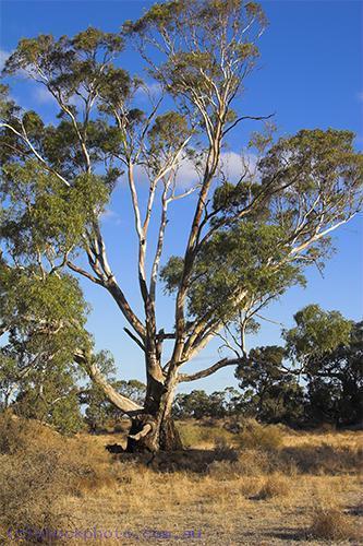 environment;scenery;plants;tree;deciduous;moulamein;wakool;morning;gum;gum;tree;vertical;