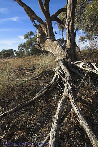 environment;scenery;river;plants;tree;deciduous;moulamein;wakool;vertical;roots;erosion;gum;gum;tree;
