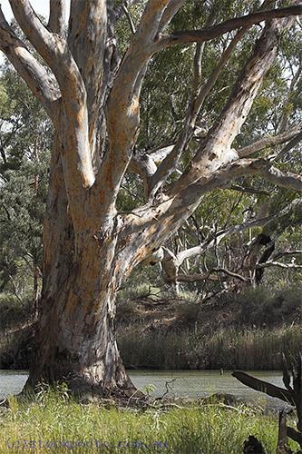 environment;scenery;water;river;plants;tree;deciduous;moulamein;wakool;vertical;gum;gum;tree;red;gum;