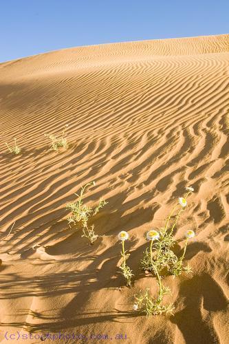 Australia;Victoria;arid;australia;australian;climate;color;colour;desert;deserts;detail;drought;dry;dune;dunes;evening;golden;grains;harsh;high;hill;hills;hot;inhospitable;landscape;lines;mildura;nature;pattern;perie;perry;red;ripple;sand;scenery;shifting;texture;travel;unspoilt;wave;wind;yellow;vertical;