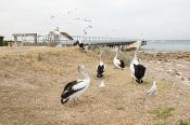animal;animalia;australia;australian;bay;beach;beak;bill;bird;chordata;coast;con