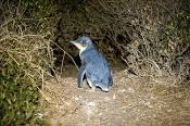 animal;animalia;animals;aquatic;australia;aves;blue;burrow;chordata;coast;den;do