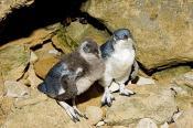 animal;animalia;animals;aquatic;australia;aves;blue;burrow;chordata;coast;den;do
