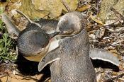 activity;animal;animalia;animals;aquatic;australia;aves;bite;biting;blue;burrow;