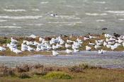 animal;animalia;australia;australian;beach;beak;bill;bird;chordata;coast;ecotour