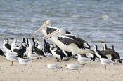 Phalacrocorax;animal;animalia;australia;australian;bay;beach;beak;bill;bird;blac