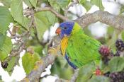 Lorikeet;animal;animalia;australia;australian;beak;berry;bill;bird;coast;ecotour