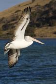 animal;animalia;australia;australian;beach;beak;bill;bird;birds;chordata;coast;c