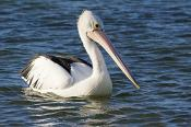animal;australia;australian;bay;beach;beak;bill;bird;birds;coast;conspicillatus;