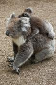 animal;animala;animals;australia;australian;baby;back;bear;cinereus;cute;fauna;h