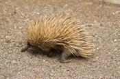 aculeatus;animala;animals;australian;beaked;bird;birds;echidna;fauna;holiday;hor