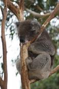 animal;animala;animals;australia;australian;bear;bird;birds;cinereus;cute;fauna;