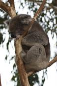 animal;animala;animals;australia;australian;bear;bird;birds;cinereus;cute;fauna;