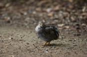 Quail;animal;animala;animals;australian;bird;birds;fauna;holiday;horizontal;isla