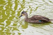 anas;animal;animala;animals;australian;bird;birds;black;duck;fauna;holiday;horiz