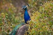animal;animala;animals;australian;bird;birds;blue;colourful;fauna;feathers;holid