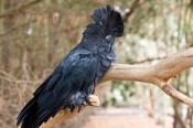 Calyptorhynchus;Cockatoo;animal;animala;animals;australian;banksii;beak;bird;bir