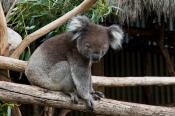 animal;animala;animals;asleep;australia;australian;bear;bird;birds;cinereus;cute