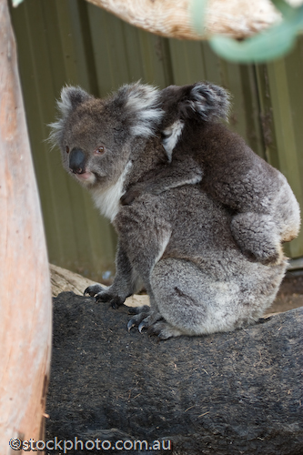 animal;animala;animals;australia;australian;baby;back;bear;bird;birds;cinereus;cute;fauna;holiday;island;kangaroo island;koala;mammal;mammals;marsupial;marsupials;mother;nature;park;parndana;phasclarctos;plants;south;tourism;tourist;tree;vertical;wildlife
