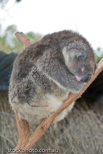 animal;animala;animals;asleep;australia;australian;bear;bird;birds;cinereus;cute;fauna;holiday;island;kangaroo island;koala;mammal;mammals;marsupial;marsupials;nature;park;parndana;phasclarctos;plants;sleep;sleeping;south;tourism;tourist;tree;vertical;wildlife