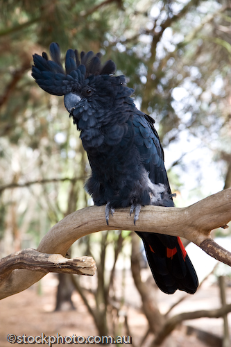 Calyptorhynchus;Cockatoo;animal;animala;animals;australian;banksii;beak;bird;birds;black;fauna;feathers;holiday;island;kangaroo island;mammal;nature;park;parndana;perch;red;south;tailed;tourism;tourist;vertical;wildlife