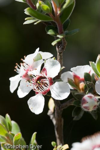 Myrtaceae;australia;devils;ecology;ecosystem;environment;environmentalism;flora;flower;great western;gullet;leptospermum;native;nitidum;tasmania;tiers;wild;vertical