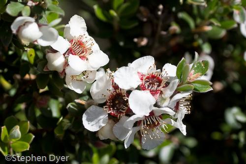 Myrtaceae;australia;devils;ecology;ecosystem;environment;environmentalism;flora;flower;great western;gullet;leptospermum;native;nitidum;tasmania;tiers;white;wild;horizontal