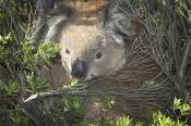 koala;animals;wildlife;mammals;bear;mammal;australia;plants;tree;cute;horizontal