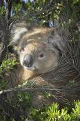 koala;animals;wildlife;mammals;bear;mammal;australia;plants;tree;cute;vertical;o