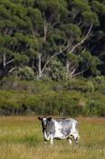 Cape;Conran;East;Gippsland;animals;livestock;cattle;beef;cattle;cow;plants;tree;