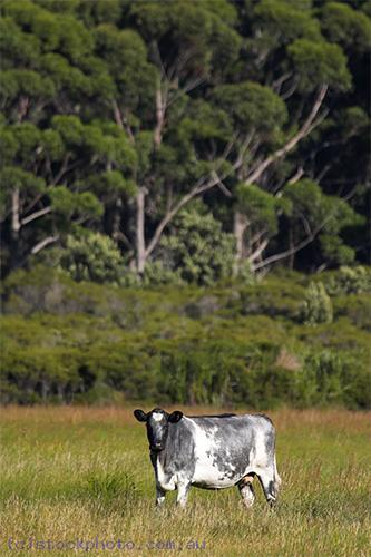Cape;Conran;East;Gippsland;animals;livestock;cattle;beef;cattle;cow;plants;tree;vertical;