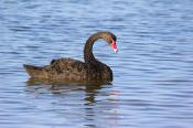 animals;wildlife;birds;Gippsland;Lakes;Gygnus;atratus;black;swan;environment;sce