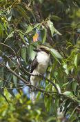 animals;wildlife;birds;Laughing;Kookaburra;Kookaburra;plants;tree;vertical;Dacel