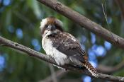 animals;wildlife;birds;Laughing;Kookaburra;Kookaburra;plants;tree;horizontal;Dac