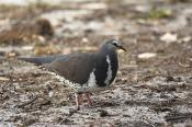 animals;wildlife;birds;victoria;Wonga;Pigeon;Leucosarcia;rnelanoleuca;horizontal