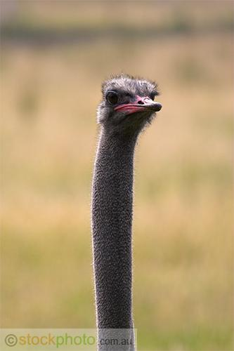 animals;wildlife;birds;victoria;Ostrich;head;Struthio;camelus;vertical;fauna;avis;beak;bird;eye;feathers;long;looking;african;face;funny;ostrich;smiling;neck;skinny;thin;ugly;watching;