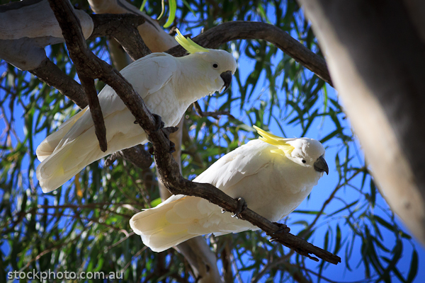 Cockatoo;Lakes;animal;australia;australian;avian;beak;bird;branch;cacatua;close-up;closeup;color;colorful;creature;crest;crested;cute;exotic;fauna;feather;feathered;feathers;hattah;head;horizontal;mornpall;native;natural;nature;park;parrot;plumage;portrait;pretty;sulfer;sulfur;sulphur;sulphur-created;sulphur-crested;sulphurea;white;wild;wildlife;wing;yellow
