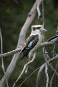 animals;wildlife;birds;Kookaburra;chiken;wire;fauna;kookaburra;laughing;look;nat