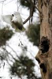 vertical;nesting;tree;hollow;australia;bird;white;wild;wing;branch;corella;nativ